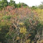 Macchia Euphorbia